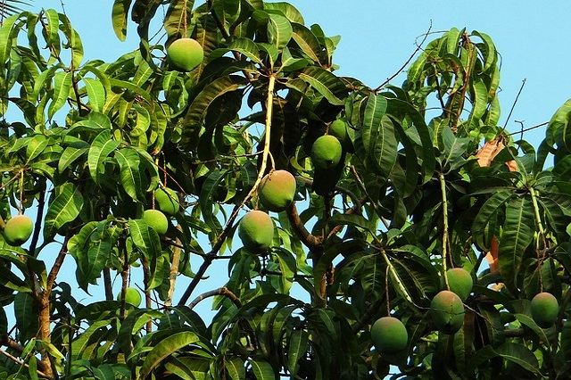 Nutritional Value of Mango and Mango Leaves